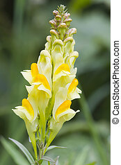 Common Toadflax a Beautiful yellow wildflower in England