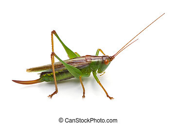 Meadow Katydid Isolated - Common Meadow Katydid Orchelimum...