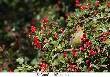 Greenfinch Carduelis chloris perched in a hawthorn bush