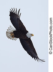 American Bald Eagle in flight - American Bald Eagle flying...