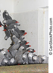 Crowd of confiscated African grey parrots Psittacus...