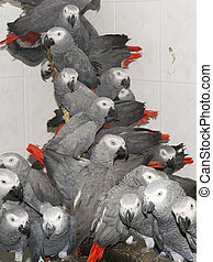 Crowd of confiscated African grey parrots (Psittacus...