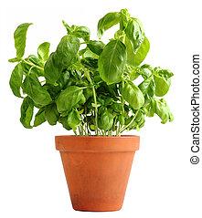 Basil in a clay pot
