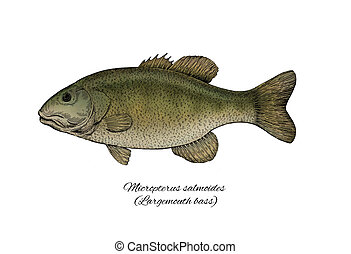 Largemouth Bass. Colorful ink style fish collection