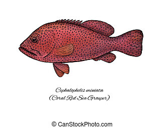 Coral red sea Grouper. Colorful ink style fish collection