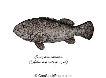 Grouper Goliath. Colorful ink style fish collection -...