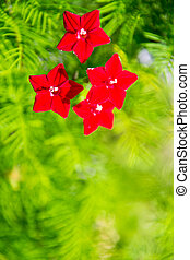 quamoclit, small red flowers, liana