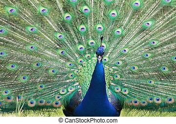 Peacock - Pavone