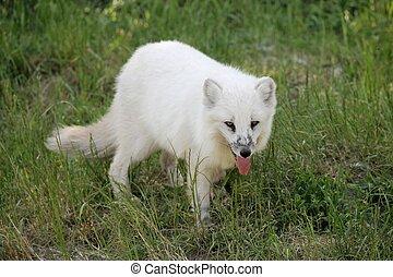 Arctic fox in nature