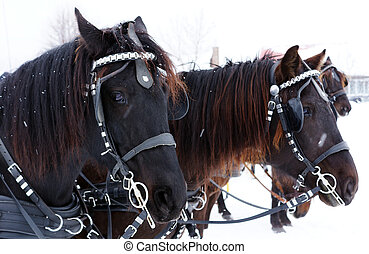 Team of Canadian horses in winter agility race