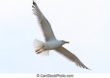 herring gull with wings spread - herring gull ( Larus...
