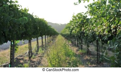 Vineyard Vines - Grapes on a vine in a beautiful vineyard in...