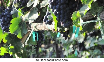 Pan of Grapes on a Vine at a Vineyard in California