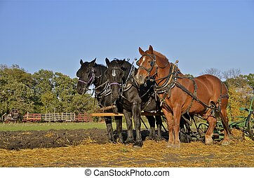 Working team of horses