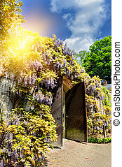 Old wooden gate in a city park with wisteria flowers