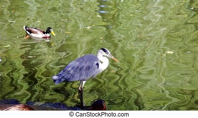 Gray heron and ducks in a pond