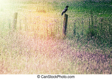 Grass field with raven sitting on an old wooden fence -...