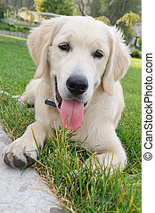 young retriever golden dig - retriever gold 5 month old...