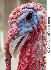 Turkey - Close up of a Red and Blue Turkey Head