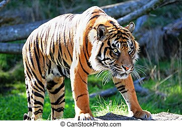 Royal Bengal Tiger - A tiger stalking its prey fully alert...