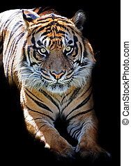 Stare of a killer - Tiger waiting in the dark; the alert...