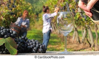 grape harvest in a sunny day - evocative image with red wine...