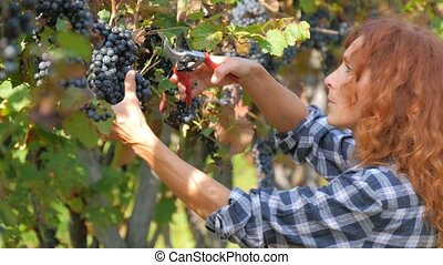 red-headed woman harvesting grapes - beautiful woman during...