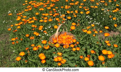 marigold calendula medical flowers - marigold calendula...