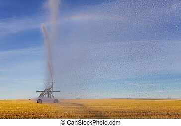 Irrigation spray - A pivot in a wheat field spraying water...