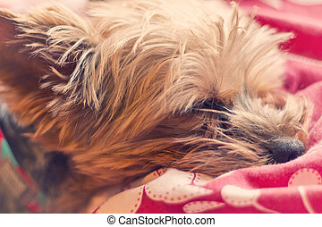 Yorkie Terrier Sleeping