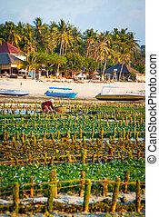 algas, granja, campo, en, indonesia,