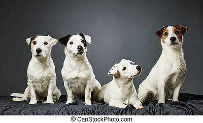 Jack Russell terrier family portrait, adult male and female...
