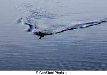 Coot swimming on the lake - Black coot swimming on the lake...