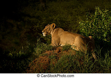 Lioness in the dusk - A lioness is stalking in the dusk