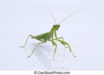 praying mantis in a light box