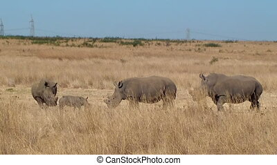 Rhino family poaching horn South Af - Rhino family with...