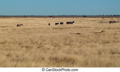 Male lions zebras background Etosha - Male lions lying,...