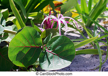Pink Spider Lily Plants - Pink Spider Lily flower between...