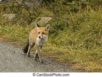 Fox - photo hunting in national park Gran Paradiso (italy)