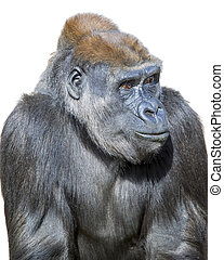 Pensive Gorilla - Adult gorilla, seemingly in deep thought,...