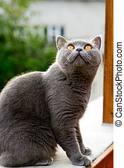 British Cat - grey british cat with orange eyes staring on...