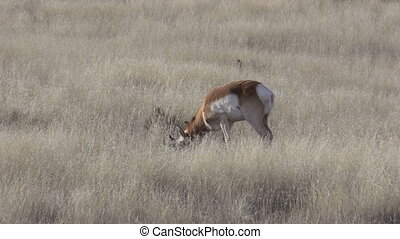 Pronghorn Antelope Buck - pronghorn antelope buck on the...