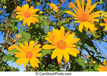 Mexican Sunflower - Mexican sunflower on Mae u Kho mountain,...