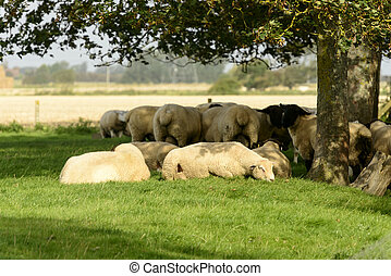 flock of sheep under a tree, Romney Marsh - a group of sheep...