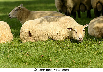 Romney Marsh sheep 03 - portrait of a resting sheep at...
