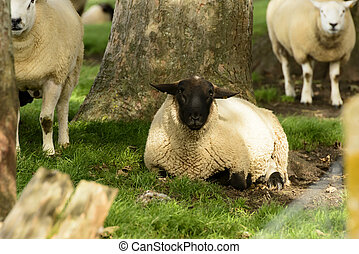 Romney Marsh sheep 04 - portrait of a sheep resting in shade...