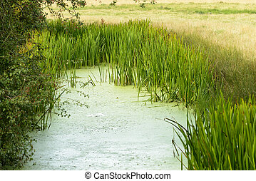 marsh vegetation, Romney Marsh - view of a ditch with...
