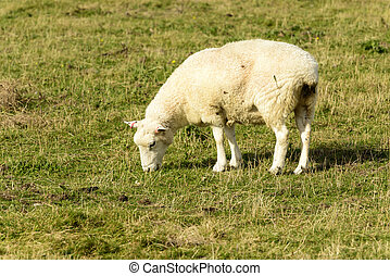 Romney Marsh sheep 07 - portrait of a grazing sheep at...
