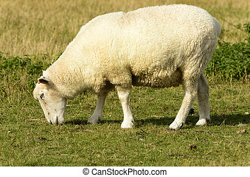 Romney Marsh sheep 11 - portrait of a grazing sheep at...