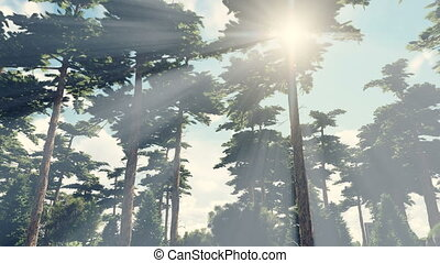 Sun shines through crowns of trees - Sunbeams shine through...